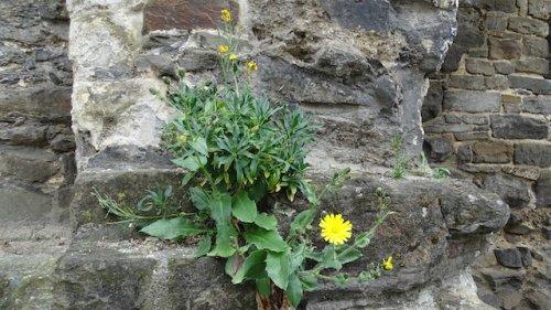 bloeiende muurbloem en havikskruid