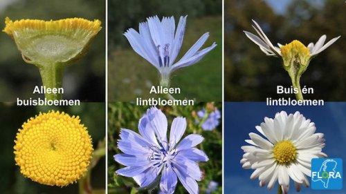Bloemvorm herkennen Flora van Nederland