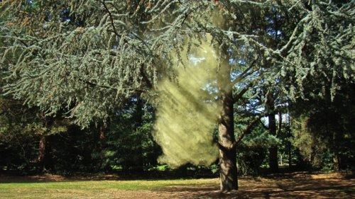 Pollenwolk Ceder