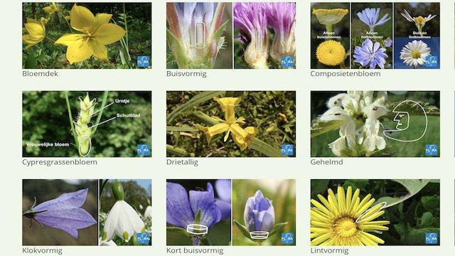 Bosanemoon. Schaduwflora. Flora van Nederland