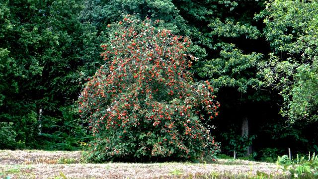 Flora van nederland: wilde lijsterbes sorbus aucuparia