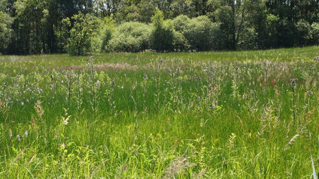Flora van nederland veldrus associatie crepido juncetum acutiflori - Kleur associatie ...