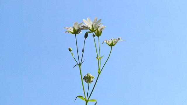 Grote Foto Op Muur.Flora Van Nederland Grote Muur Stellaria Holostea