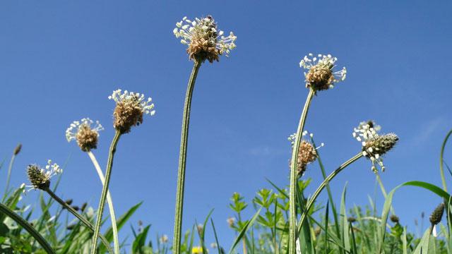 da63a8f4bf0 Flora van Nederland: Smalle weegbree - Plantago lanceolata