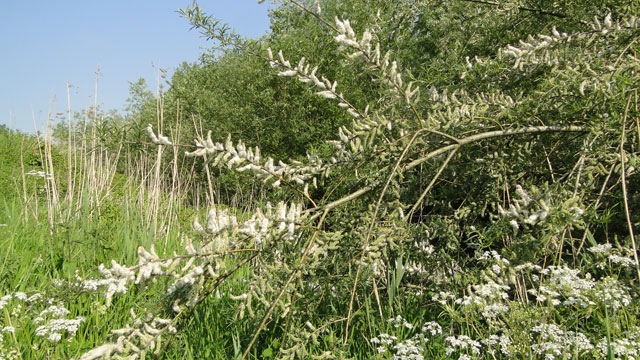 Flora van nederland: katwilg salix viminalis